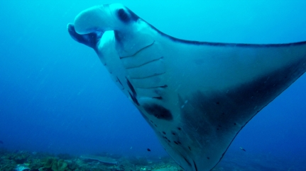 Close encounters with a Manta Ray - Nusa Penida, Bali, Indonesia