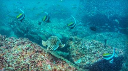 Cuttlefish surrounded by Bannerfishes - Netrani island, India