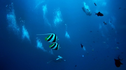Bannerfishes and divers - Mahabalipuram, India