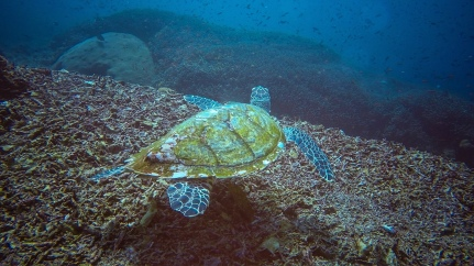 A hawksbill sea turtle named Crush - Nusa Penida, Bali, Indonesia